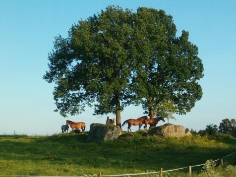 tolfta sommarhästar